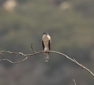 Sharp-shinned Hawk  Elfin Forres 202 12 27-1.CR3