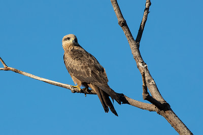 Black-Kite_GL_2793
