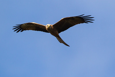 Black-Kite_GL_5542