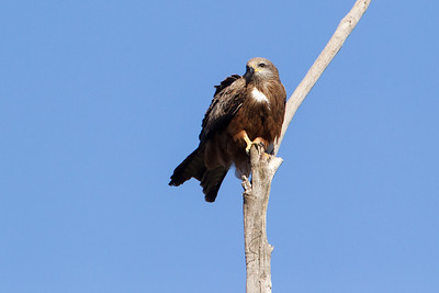 Black-Kite_GL_5438