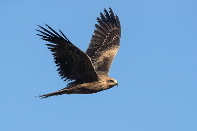Black-Kite_GL_2048