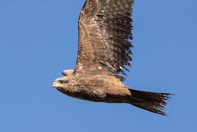 Black-Kite_GL_2178