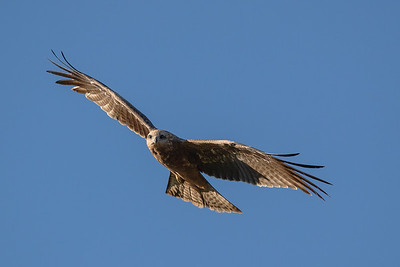 Black-Kite_GL_2384
