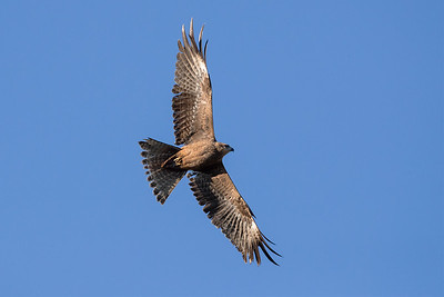 Black-Kite_GL_2106