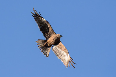 Black-Kite_GL_2103