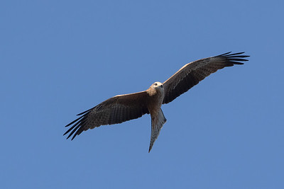 Black-Kite_GL_2092