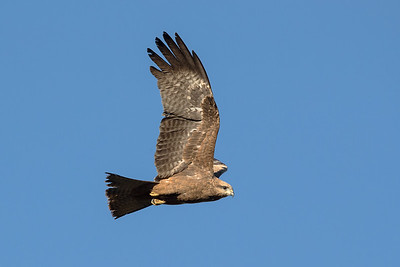 Black-Kite_GL_2070