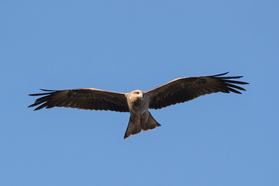 Black-Kite_GL_2128