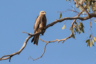 Black-Kite_GL_2301