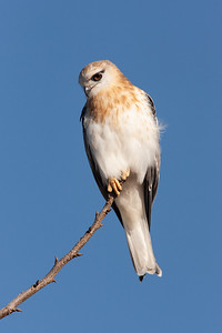 Black-shouldered-Kite_AGL8786