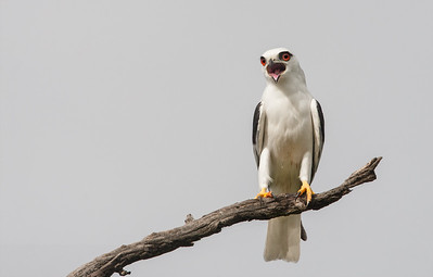 Black-shouldered-Kite_X7P5074
