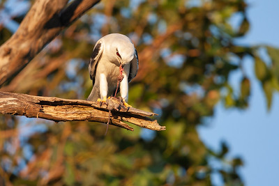 Black-shouldered-Kite8X7P1363