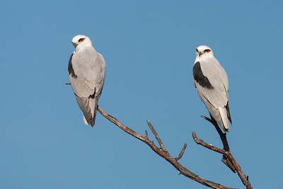 Black-shouldered-Kite_X7P3564