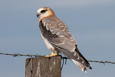 Black-shouldered-Kite_MG_2256