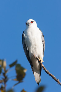 Black-shouldered-Kite_AGL0998