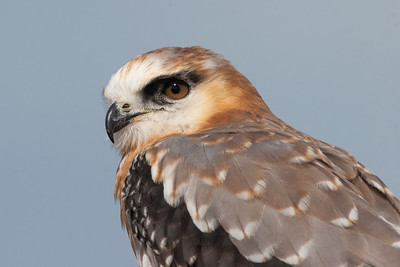 Black-shouldered-Kite_MG_2266