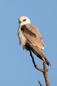 Black-shouldered-Kite_AGL7936