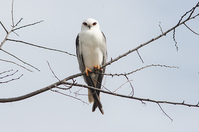 Black-shouldered-Kite_MG_2191