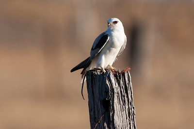 Black-shouldered-Kite_AGL3934