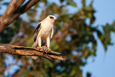 Black-shouldered-Kite8X7P1400