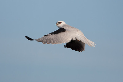 Black-shouldered-Kite_AGL8878