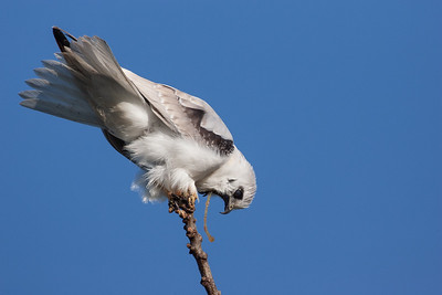 Black-shouldered-Kite_KOS8612