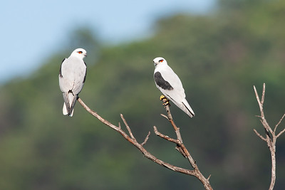 Black-shouldered-Kite_X7P3480