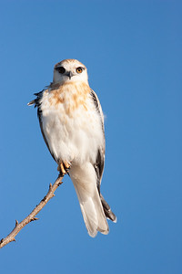 Black-shouldered-Kite_AGL8834