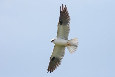 Black-shouldered-Kite_MG_5599