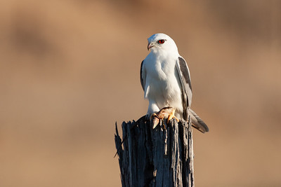 Black-shouldered-Kite_AGL4176