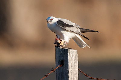 Black-shouldered-Kite_AGL3994