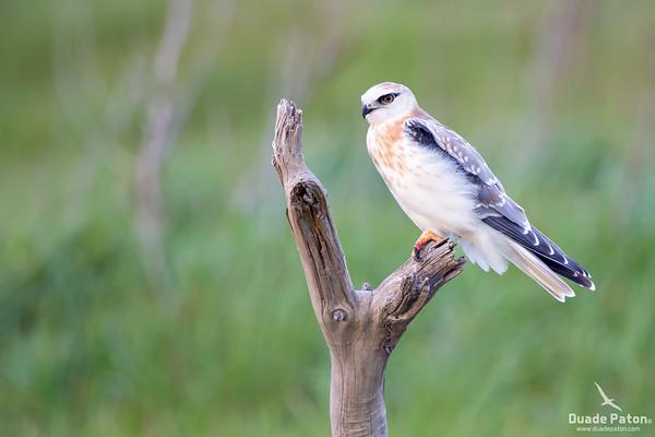 Black-shouldered kite - Juvenile