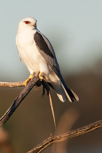 Black-shouldered-Kite_AGL4224