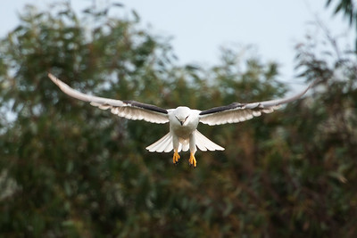 Black-shouldered-Kite_AGL2205
