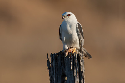 Black-shouldered-Kite_AGL4173