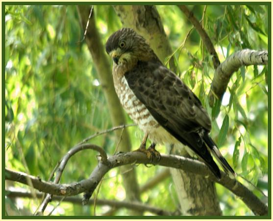 Broad-winged Hawk, Ames, NY 7-10-09