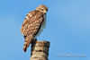 Red-shouldered Hawk (Buteo lineatus). Everglades NP (Florida, USA), March 2011.