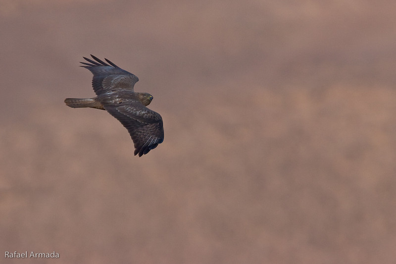 Steppe Buzzard (Buteo buteo vulpinus). Eilat Mountains (Israel), April 2006.<br /> Esp: Ratonero de estepa