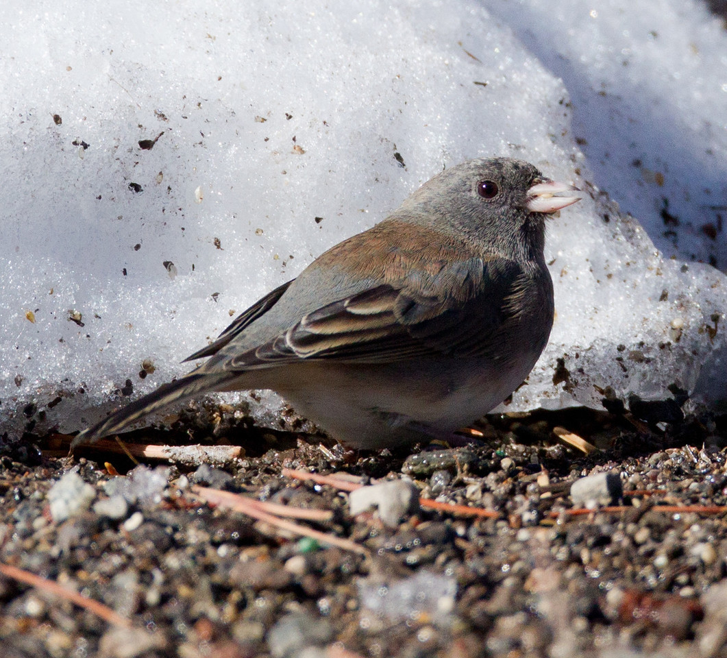 Slate-colored Junco   Mammoth Lakes 2012 10 27 (2 of 2).CR2