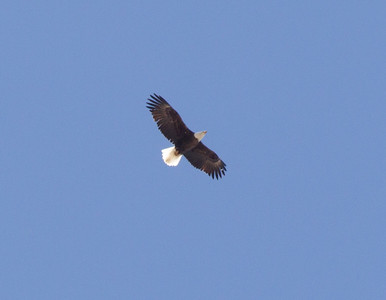 Bald Eagle Crowley Lake 2018 04 17-1.CR2