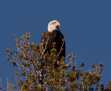 Bald Eagle  Mammoth Lakes 2009 11 03-3.CR2