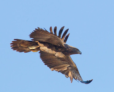 Golden Eagle  Lone Pine 2014 10 19 (201411 of 2).CR2