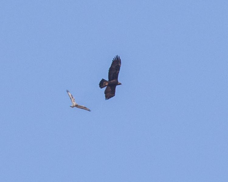 Golden Eagle Rough-legged Hawk Bridgeport 2018 04 01-2.CR2