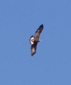 Golden Eagle  Crowley Lake 2012 10 25 (1 of 1).CR2