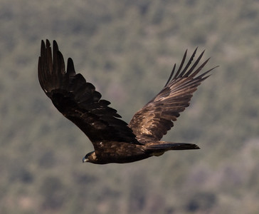 Golden Eagle Southern Nevada 2016 05 27-2.CR2