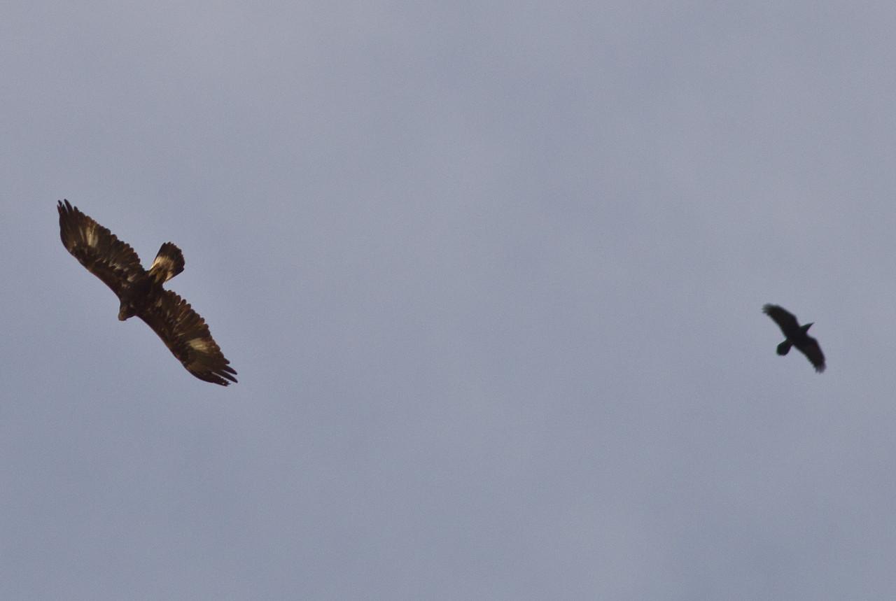 Golden Eagle Common Raven  Santa Ysabel 2014 02 15-1.CR2
