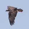Golden Eagle Big Pine 2017 09 16-10.CR2
