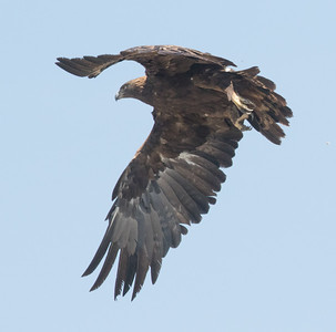 Golden Eagle Big Pine 2017 09 16-6.CR2