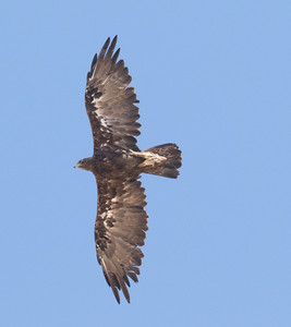 Golden Eagle  Lone Pine 2016 07 17-4.CR2