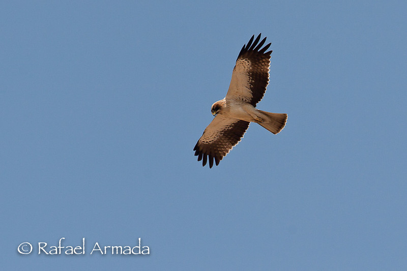 Booted Eagle (Aquila pennata). Casas del Señor (Alicante, Spain), March 2006.<br /> Esp: Aguililla calzada<br /> Cat: Àguila calçada